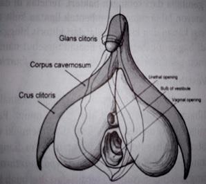 Klitoris dan bagian-bagiannya