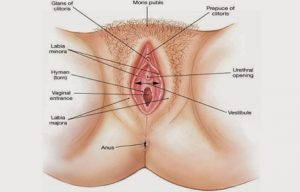 Struktur Organ Genital Wanita Bagian Luar