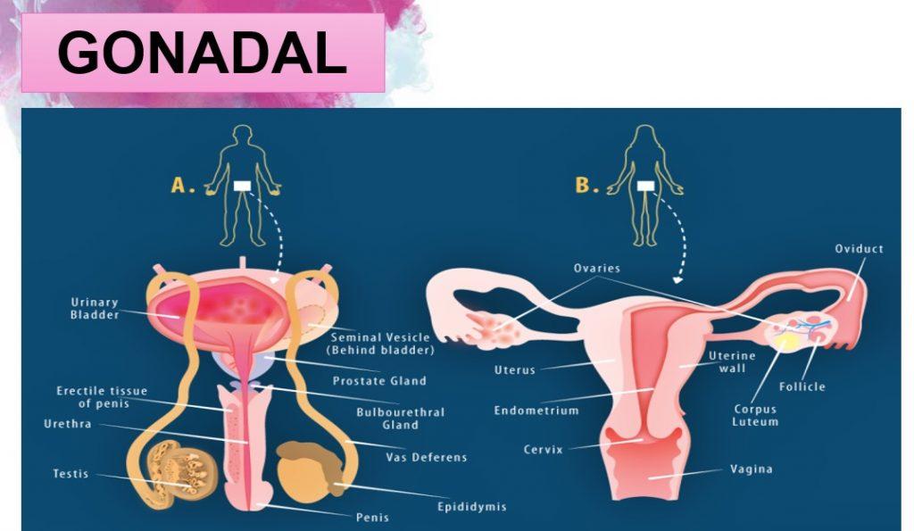 apa itu gonadal -- Hormon pada sistem reproduksi manusia