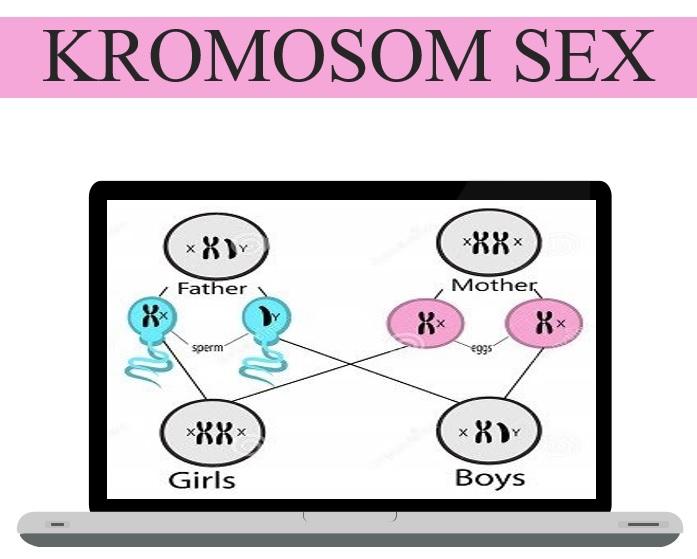 Hormon pada sistem reproduksi manusia --  kromosom seks